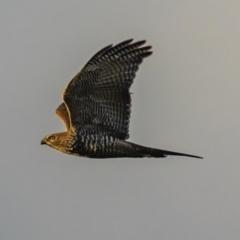 Accipiter fasciatus (Brown Goshawk) at Sutton, NSW - 7 Jan 2021 by rileydm