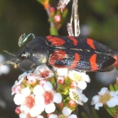 Castiarina helmsi (A jewel beetle) at Kosciuszko National Park - 12 Jan 2021 by Harrisi