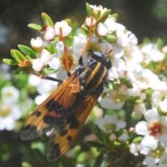 Pelecorhynchus flavipennis (A pelecorhynchid fly) at Kosciuszko National Park - 13 Jan 2021 by Harrisi
