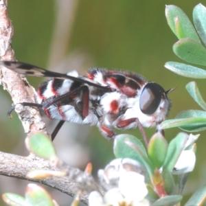 Pelecorhynchus nigripennis at Kosciuszko National Park - 13 Jan 2021