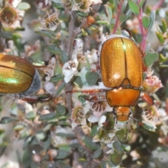 Unidentified Scarab beetle (Scarabaeidae) (TBC) at Kosciuszko National Park - 13 Jan 2021 by Harrisi
