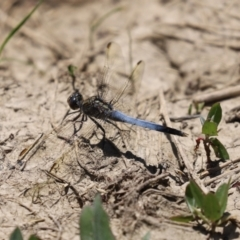 Orthetrum caledonicum (Blue Skimmer) at Jerrabomberra Wetlands - 15 Jan 2021 by RodDeb