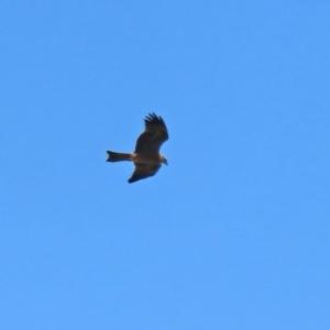 Milvus migrans at Jerrabomberra Wetlands - 15 Jan 2021