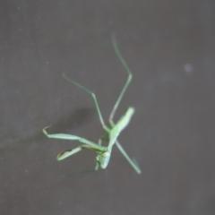 Mantodea sp. (order) (Unidentified praying mantis) at Cook, ACT - 15 Jan 2021 by Tammy