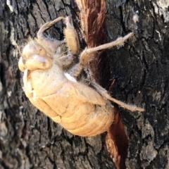 Psaltoda moerens (Redeye Cicada) at Namadgi National Park - 13 Jan 2021 by KMcCue