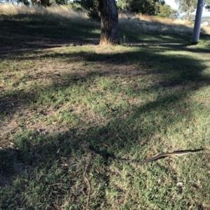 Eucalyptus bridgesiana at Hughes Garran Woodland - 16 Jan 2021