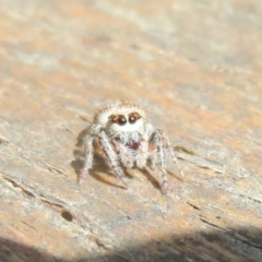 Opisthoncus sp. (genus) (Unidentified Opisthoncus jumping spider) at Namadgi National Park - 15 Jan 2021 by Christine