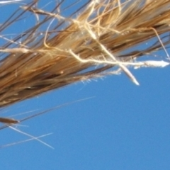 Austrostipa densiflora (Foxtail Speargrass) at Jones Creek, NSW - 11 Dec 2005 by abread111