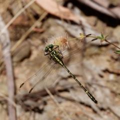 Austrogomphus ochraceus (Jade Hunter) at Cotter River, ACT - 15 Jan 2021 by DPRees125