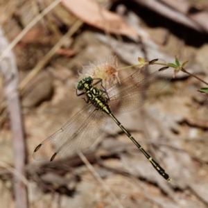 Austrogomphus ochraceus at Namadgi National Park - 15 Jan 2021
