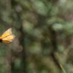 Danaus plexippus (Monarch/Wanderer) at Cotter River, ACT - 15 Jan 2021 by DPRees125