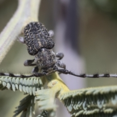 Ancita marginicollis (A longhorn beetle) at The Pinnacle - 12 Jan 2021 by AlisonMilton