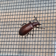 Lagriini sp. (tribe) (Unidentified lagriine darkling beetle) at Molonglo Valley, ACT - 16 Jan 2021 by AaronClausen