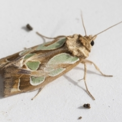 Cosmodes elegans (Green blotched moth) at Higgins, ACT - 4 Jan 2021 by AlisonMilton
