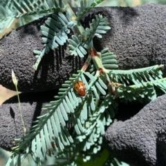 Rhyparida sp. (genus) (Leaf beetle) at Murrumbateman, NSW - 16 Jan 2021 by SimoneC