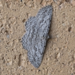 Psilosticha attacta (Looper Moth) at Higgins, ACT - 6 Sep 2020 by AlisonMilton