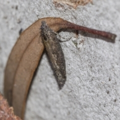 Spilonota-group (A Tortricid moth) at Gossan Hill - 28 Aug 2020 by AlisonMilton
