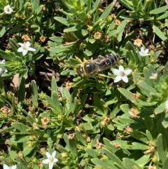 Bembix sp. (genus) (Unidentified Bembix sand wasp) at Murrumbateman, NSW - 16 Jan 2021 by SimoneC