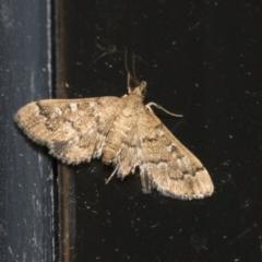 Nacoleia rhoeoalis (A Pyralid Moth) at Higgins, ACT - 3 Jan 2021 by AlisonMilton