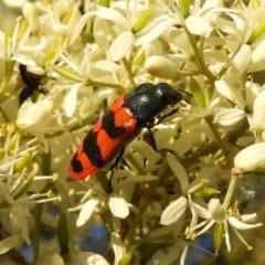 Castiarina crenata (Crenata jewel beetle) at Mount Taylor - 14 Jan 2021 by MatthewFrawley