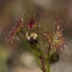 Drosera sp. at Gossan Hill - 28 Aug 2020 by AlisonMilton