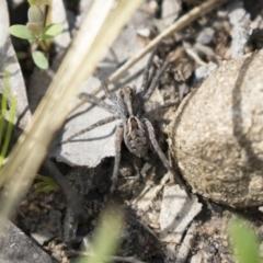 Tasmanicosa sp. (genus) (Unidentified Tasmanicosa wolf spider) at Gossan Hill - 13 Oct 2020 by AlisonMilton