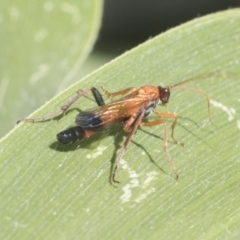 Ctenochares bicolorus (Black-tipped orange ichneumon) at Higgins, ACT - 15 Jan 2021 by AlisonMilton