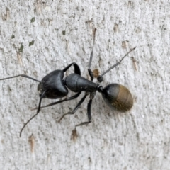 Camponotus aeneopilosus (A Golden-tailed sugar ant) at Phillip, ACT - 8 Sep 2020 by AlisonMilton