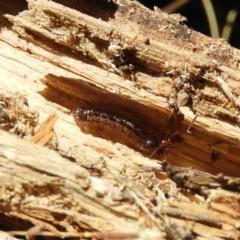 Acrodipsas myrmecophila (Small Ant-blue) at Chifley, ACT - 16 Jan 2021 by MatthewFrawley