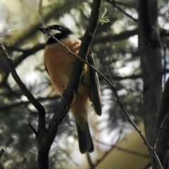 Pachycephala rufiventris (Rufous Whistler) at Paddys River, ACT - 16 Jan 2021 by KMcCue