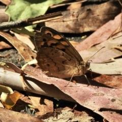 Heteronympha merope (Common Brown) at Tidbinbilla Nature Reserve - 16 Jan 2021 by KMcCue