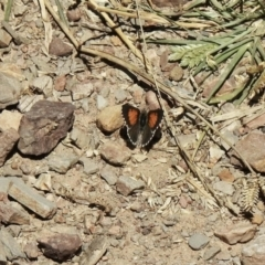 Lucia limbaria (Chequered Copper) at Holt, ACT - 16 Jan 2021 by KMcCue