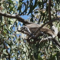 Philemon corniculatus (Noisy Friarbird) at Aranda Bushland - 15 Jan 2021 by KMcCue