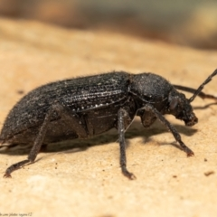 Metistete gibbicollis (Darkling beetle) at Macgregor, ACT - 17 Jan 2021 by Roger