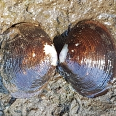 Hyriidae sp. (family) (Freshwater Mussels) at Molonglo River Park - 17 Jan 2021 by tpreston