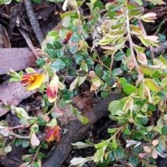 Bossiaea buxifolia (Bush Pea) at Mount Majura - 20 Sep 2020 by MAX