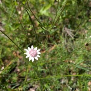 Actinotus forsythii (Pink Flannel Flower) at Bundanoon by Boobook38