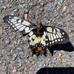 Papilio anactus (Dainty Swallowtail) at Wanniassa, ACT - 17 Jan 2021 by Jenjen