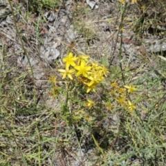 Hypericum perforatum (St John's Wort) at Gungahlin Pond - 17 Jan 2021 by TrishGungahlin