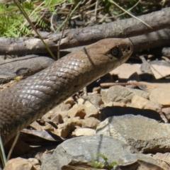 Pseudonaja textilis (Eastern Brown Snake) at Namadgi National Park - 17 Jan 2021 by jmcleod