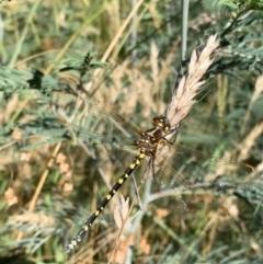 Synthemis eustalacta (Swamp Tigertail) at Murrumbateman, NSW - 17 Jan 2021 by SimoneC