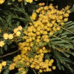 Acacia leucoclada (Northern Silver Wattle) at Jones Creek, NSW - 23 Sep 2005 by abread111