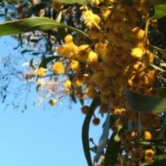 Acacia pycnantha (Golden Wattle) at Jones Creek, NSW - 6 Sep 2005 by abread111