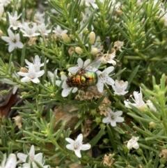 Rutilia (Chrysorutilia) sp. (genus & subgenus) (A Bristle Fly) at Wamboin, NSW - 15 Jan 2021 by Esouthwood