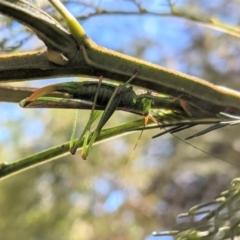 Conocephalomima barameda (Barameda) at Red Hill Nature Reserve - 17 Jan 2021 by JackyF