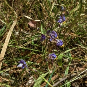 Dianella sp. aff. longifolia (Benambra) at Red Hill Nature Reserve - 17 Jan 2021