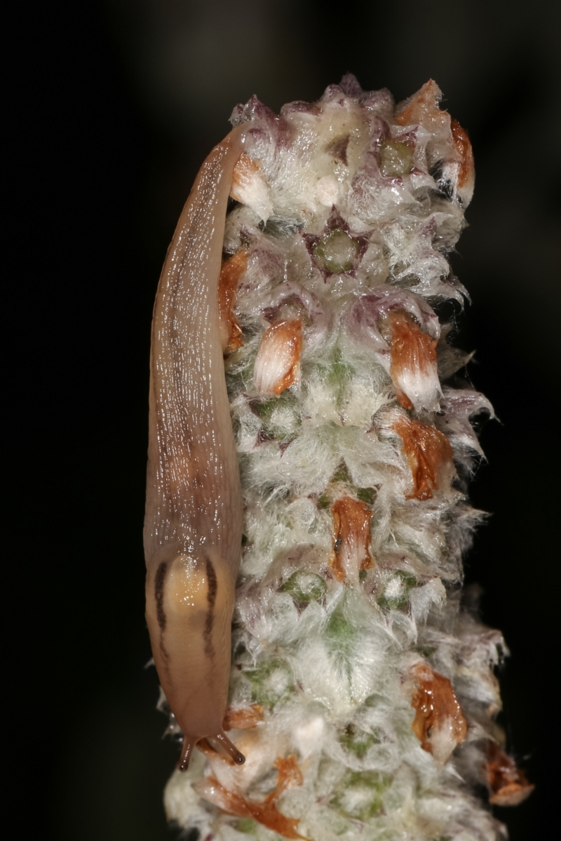 Ambigolimax nyctelia at Melba, ACT - 4 Jan 2021