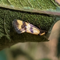 Olbonoma triptycha (Concealer moth) at Red Hill Nature Reserve - 17 Jan 2021 by JackyF