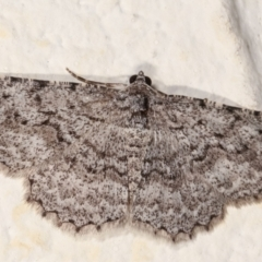 Psilosticha absorpta (Fine-waved Bark Moth) at Melba, ACT - 4 Jan 2021 by kasiaaus