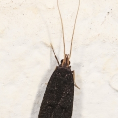 Lecithocera terrigena at Melba, ACT - 4 Jan 2021 by kasiaaus